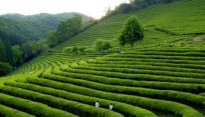 Dilmah CEO Says Millions Would Be Replaced By Robots In The Tea Industry In A Few Years