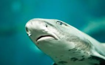 World-First Switch from Sexual to Asexual Reproduction Made by a Leopard Shark